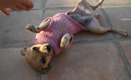 chihuahua wearing her chihuahua sweater