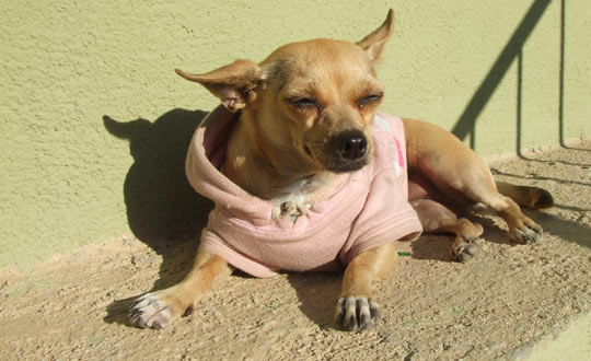 chihuahua dog lounging on a ledge, dressed in her chihuahua hoodie