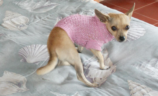 the chihuahua sweater chihuahua clothing you can 39 t really argue about chihuahua clothes. Black Bedroom Furniture Sets. Home Design Ideas