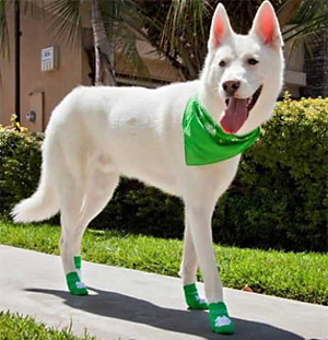 white dog wearing dog socks