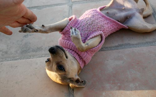 chihuahua clothes sweater