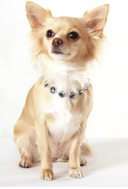 view the Puppy Boutique Chihuahua Shop