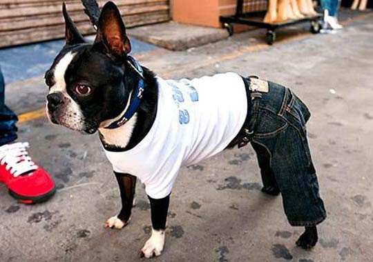 frenchie wearing dog jeans