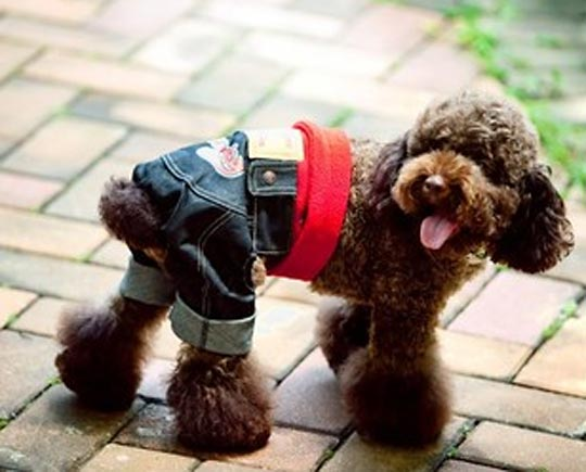 poofy dog wearing jeans for dogs