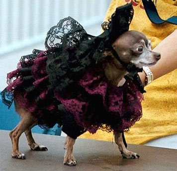 chihuahua wearing fancy dog couture