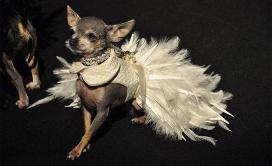 small doggy wearing couture dog clothing