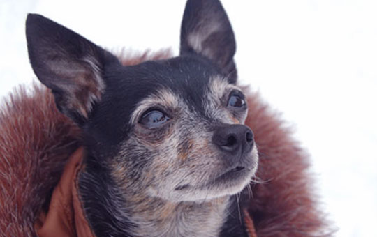 chihuahua wearing a fur coat
