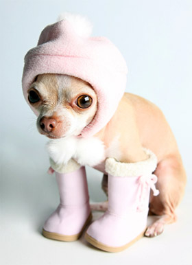 chihuahua-wearing-booties-and-a-hood