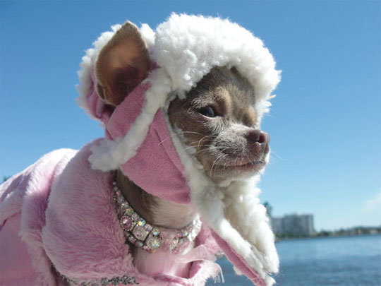 chihuahua wearing a winter coat