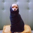 chihuahua wrapped in clothes