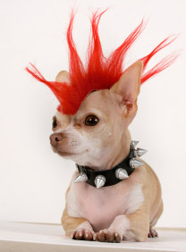 punk-chihuahua-accessories