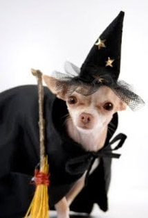 chihuahua witch costume for Halloween