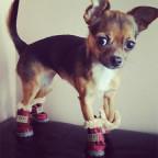 chihuahua-wearing-chihuahua-winter-boots
