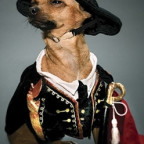chihuahua wearing a classical pirate costume for little dogs
